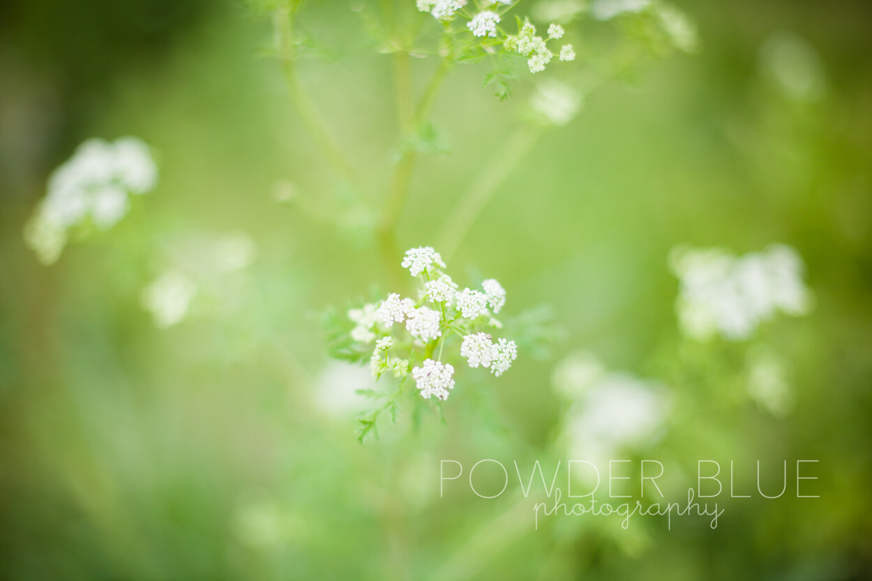 wheat field wild flowers pittsburgh upper st clair boyce mayview park